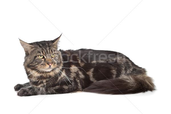 Maine zwarte kat witte huisdier geïsoleerd Stockfoto © eriklam