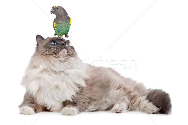 кошки Parrot сидят кошек голову белый Сток-фото © eriklam