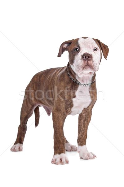Американский бульдог белый фон щенков сильный бульдог Сток-фото © eriklam