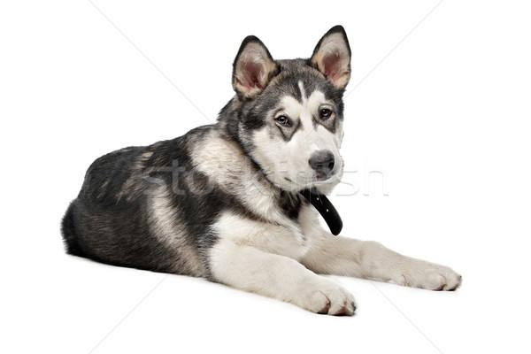 Alaskan Malamute puppy Stock photo © eriklam