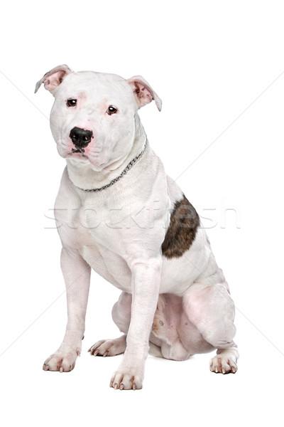 Американский бульдог белый собака фон студию защиту Сток-фото © eriklam