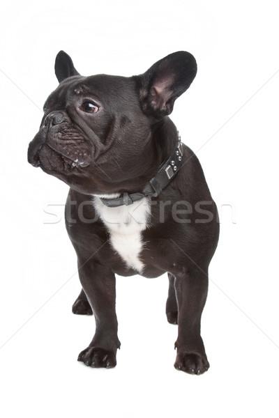 Francese bulldog bianco nero studio pet Foto d'archivio © eriklam