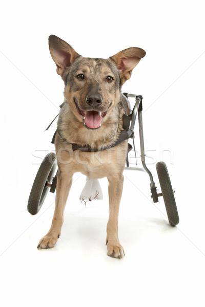 Köpek tekerlekli sandalye beyaz tıbbi hareketli hayvan Stok fotoğraf © eriklam