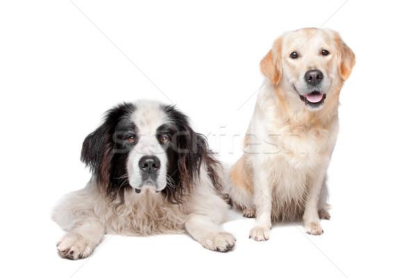 Hond labrador retriever witte paar witte achtergrond zoogdier Stockfoto © eriklam