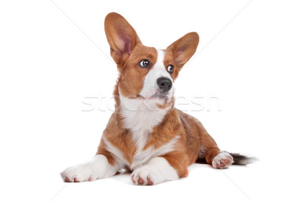 Welsh Corgi dog Stock photo © eriklam