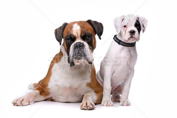 Bruin bokser hond puppy witte jonge Stockfoto © eriklam