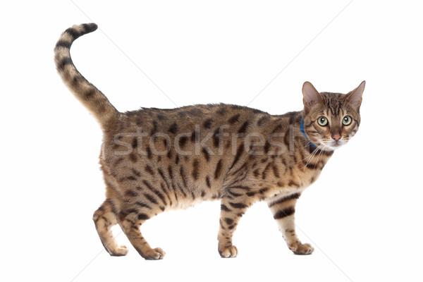Bengal cat Stock photo © eriklam