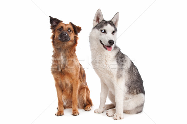 Siberian Husky puppy and mixed breed dog Stock photo © eriklam