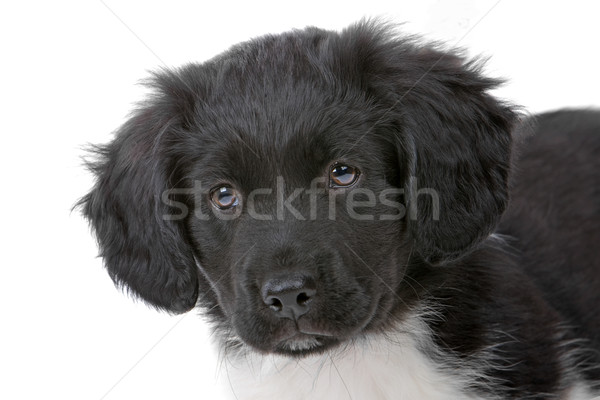 The head of a  cute Stabyhoun puppy looking at camera isolated on a white background  Stock photo © eriklam