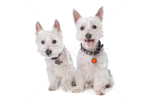West Highland White Terrier Stock photo © eriklam