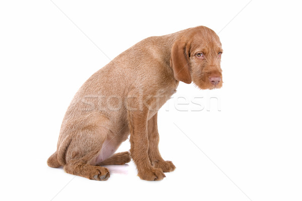 hungarian wire haired vizsla puppy  Stock photo © eriklam