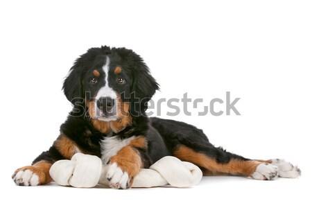 子犬 白 犬 背景 黒 ストックフォト © eriklam