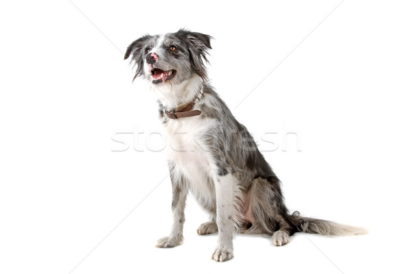 Stock photo: front view of a border collie dog