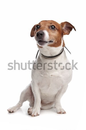 american staffordshire bull terrier Stock photo © eriklam