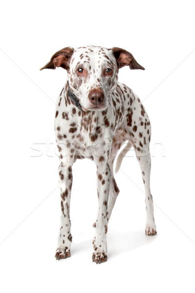 old Dalmatian Stock photo © eriklam
