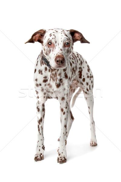 Eski dalmaçyalı kör hayvan arkadaş evcil hayvan Stok fotoğraf © eriklam