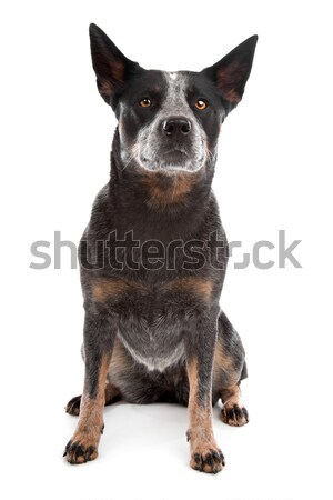 Australian Cattle Dog Stock photo © eriklam