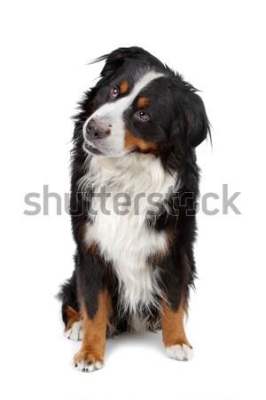 Berneński pies pasterski stałego biały górskich czarny zwierząt Zdjęcia stock © eriklam
