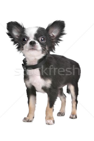 Hosszú hajú kutyakölyök fehér fiatal díszállat fehér háttér Stock fotó © eriklam