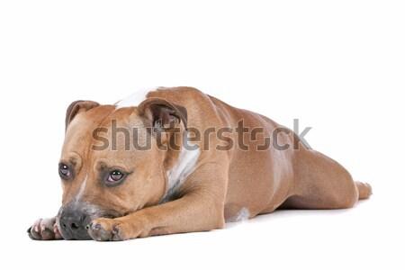 Stock fotó: Bika · terrier · fehér · díszállat · fáradt · izolált