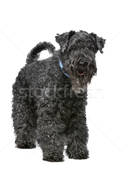 Kerry Blue Terrier Stock photo © eriklam