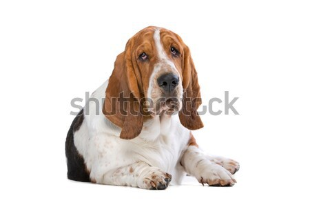 Basset hound Stock photo © eriklam