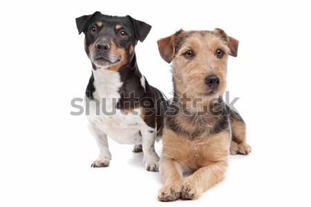 Terriyer köpek karışık beyaz Stok fotoğraf © eriklam