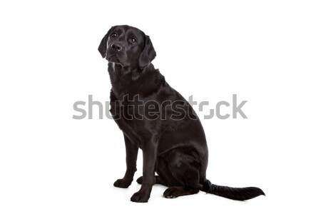 cross breed dog of a Labrador and a Flat-Coated Retriever Stock photo © eriklam