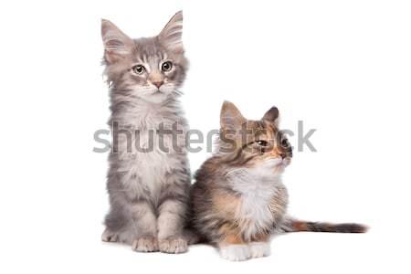 Maine Coon kittens Stock photo © eriklam