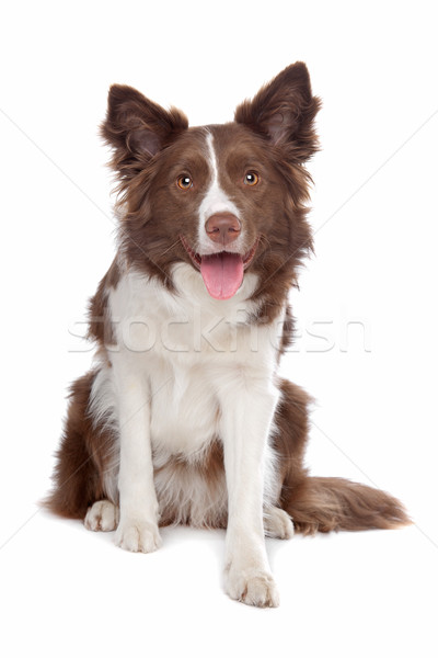 Border collie chien de berger blanche chien animaux séance Photo stock © eriklam