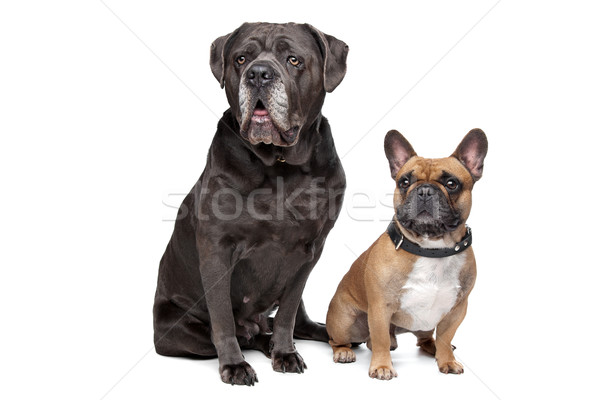 Cane Corso and French Bulldog Stock photo © eriklam