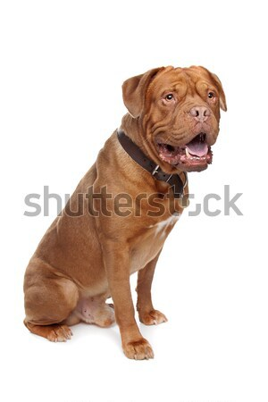 французский дог белый собака красный животного Сток-фото © eriklam