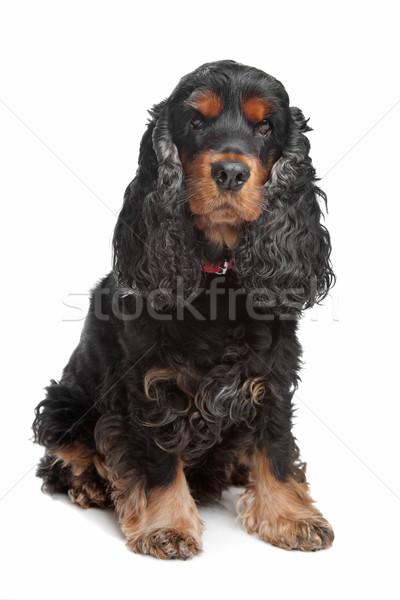 black and tan English cocker spaniel Stock photo © eriklam