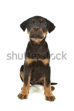 Rottweiler puppy Stock photo © eriklam