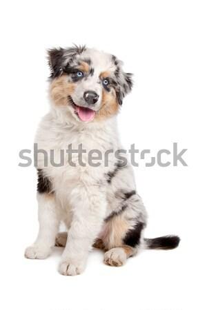 Сток-фото: австралийский · пастух · белый · собака · животного · щенков