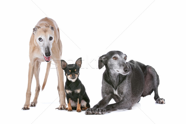 two greyhounds and a chihuahua Stock photo © eriklam