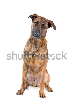 Soft coated wheaten terrier dog Stock photo © eriklam