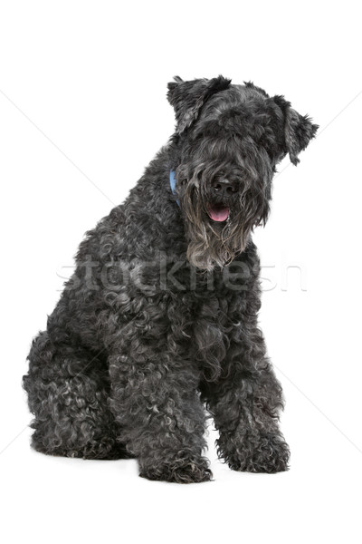 Stock photo: Kerry Blue Terrier