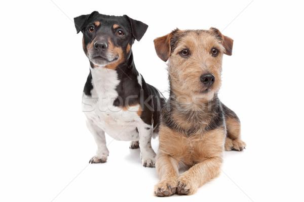 Stock fotó: Terrier · kutya · vegyes · fajta · fehér