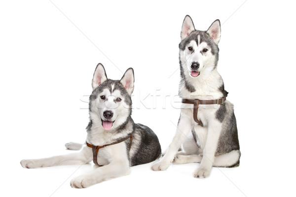 Husky два щенки белый собака фон Сток-фото © eriklam