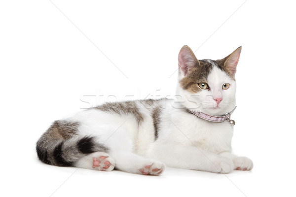 猫 白 背景 スタジオ 猫 ペット ストックフォト © eriklam