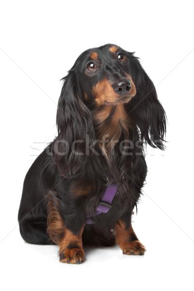 Fekete barna bőr miniatűr tacskó fehér kutya Stock fotó © eriklam