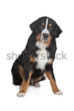 Berneński pies pasterski biały tle górskich zwierząt studio Zdjęcia stock © eriklam