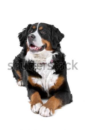Berneński pies pasterski odizolowany biały tle gospodarstwa Zdjęcia stock © eriklam