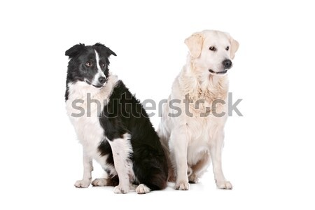 Golden retriever border collie bianco Coppia amici pet Foto d'archivio © eriklam