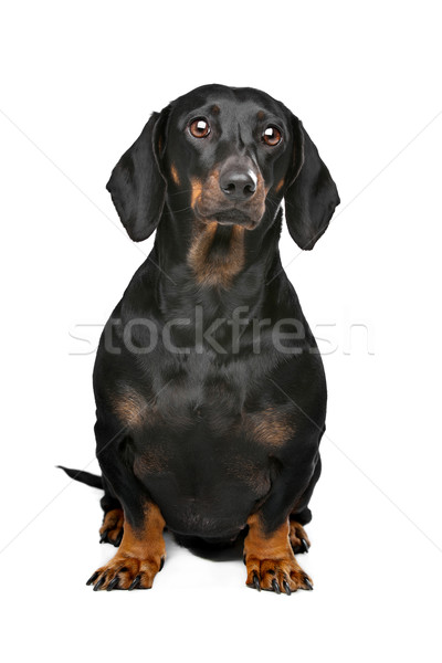black and tan dachshund Stock photo © eriklam