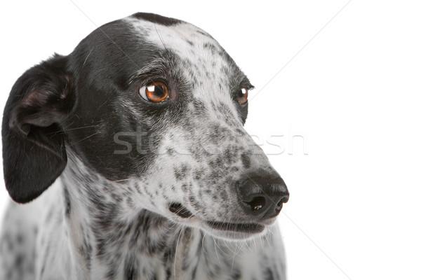 Witte windhond hond zwarte geïsoleerd Stockfoto © eriklam