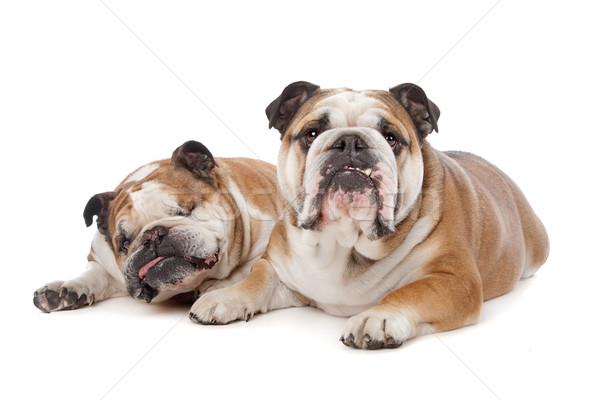 Twee Engels studio vriendschap huisdier bulldog Stockfoto © eriklam