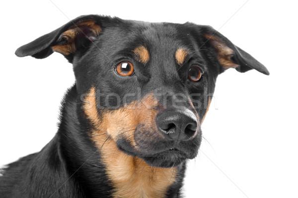 head of jack russel terrier dog Stock photo © eriklam