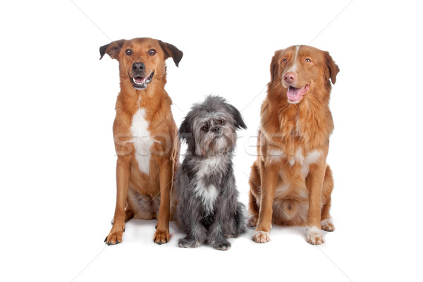 Two mix dogs and a Nova Scotia Duck Tolling Retriever Stock photo © eriklam